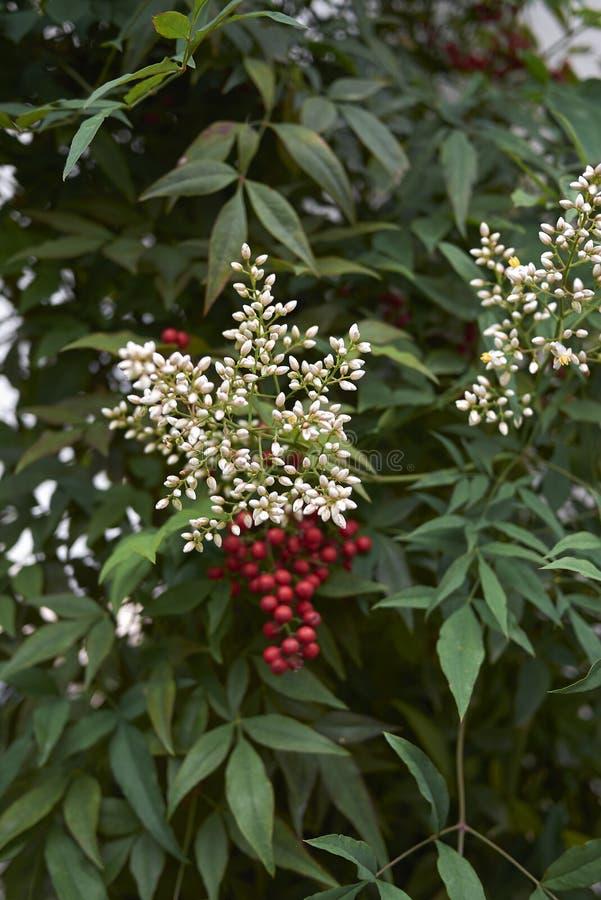 Vita blommor av den Nandina domesticabusken royaltyfria foton