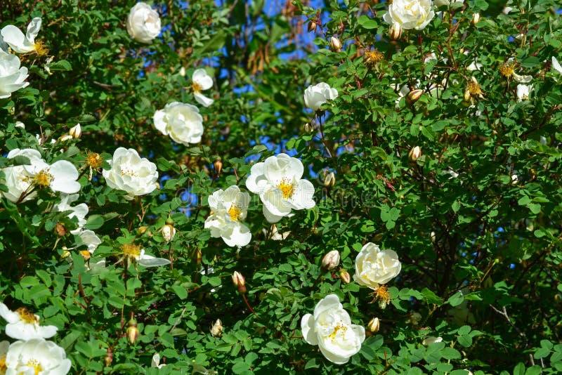 Vita blommor av det hundrosor eller nyponet på grön sidabakgrund royaltyfri foto