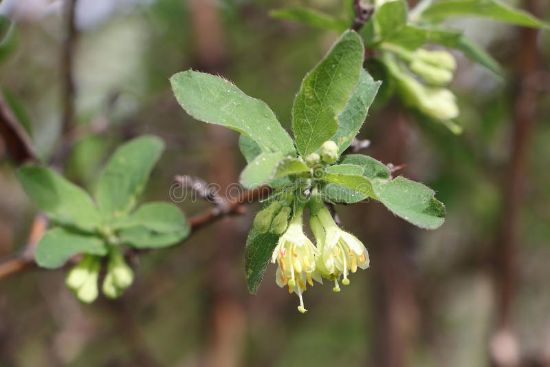 Vita blommor av en kaprifol på våren royaltyfri fotografi