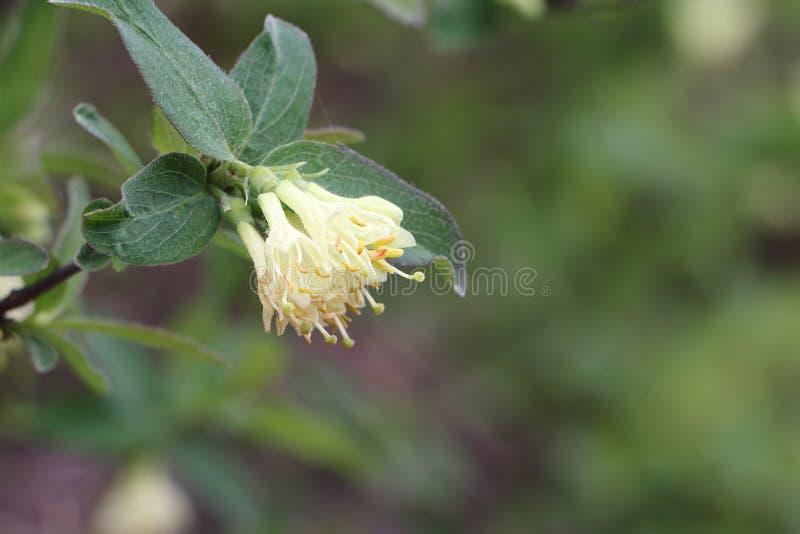 Vita blommor av en kaprifol på våren arkivbilder