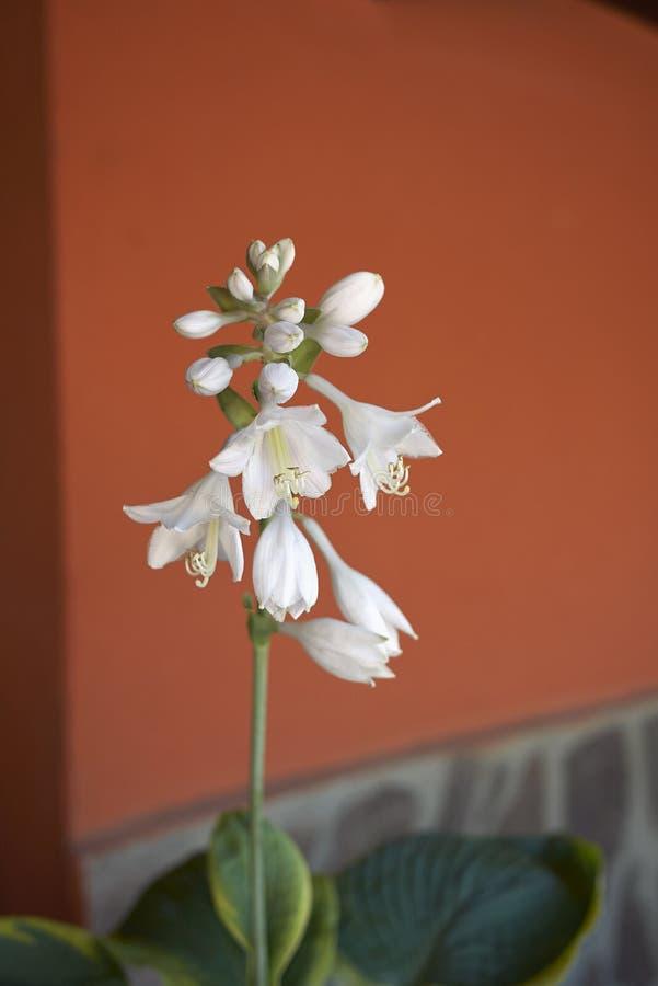 Vita blommor av hostaen arkivfoto