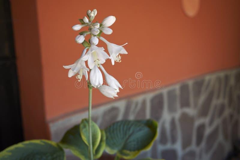 Vita blommor av hostaen royaltyfri foto