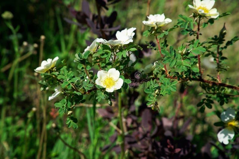 Vita blommor av l?sa briarh?fter som pollineras av kryp fotografering för bildbyråer
