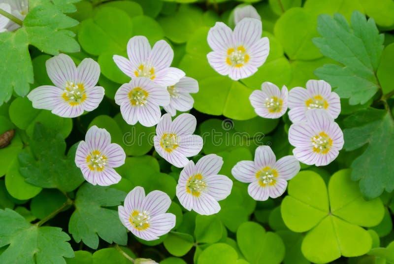 Vita blommor av oxalis på en bakgrund av sidor stänger sig upp royaltyfria bilder