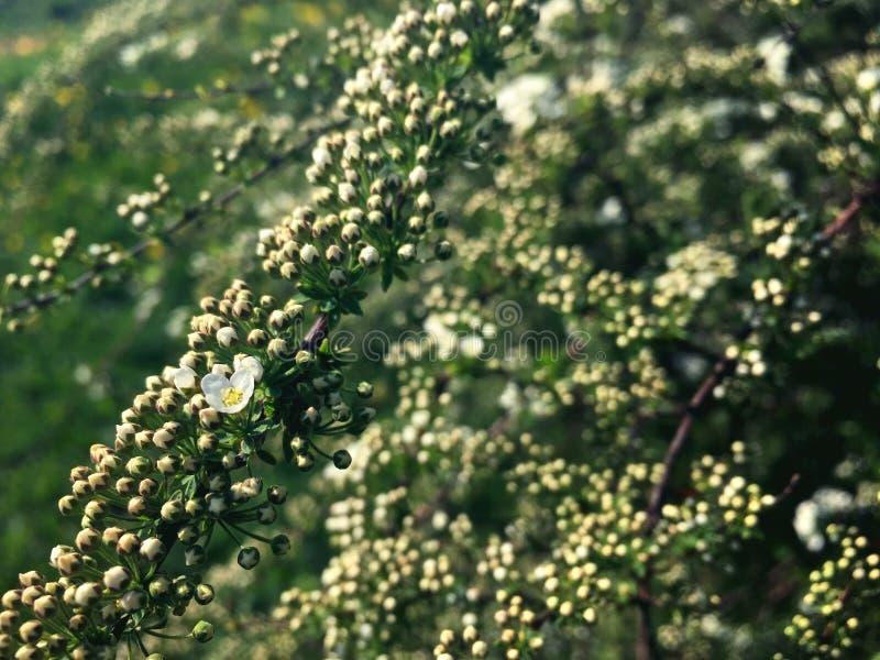 Vita blommor av päronet som tänds av solen fotografering för bildbyråer