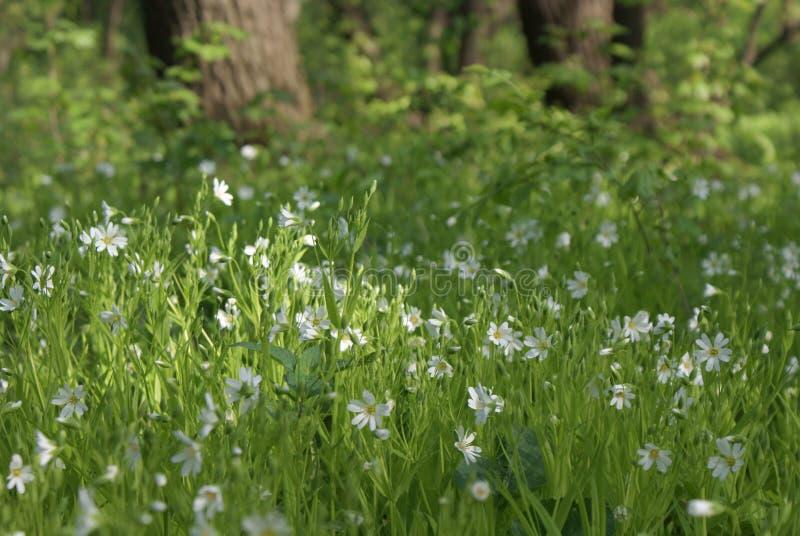 Vita blommor bland grönt gräs i en röjning i lös natur arkivbild
