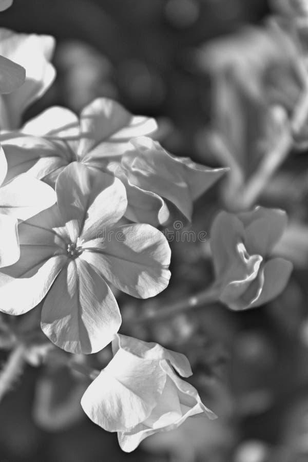 vita blommor för b/W i din trädgård royaltyfri foto
