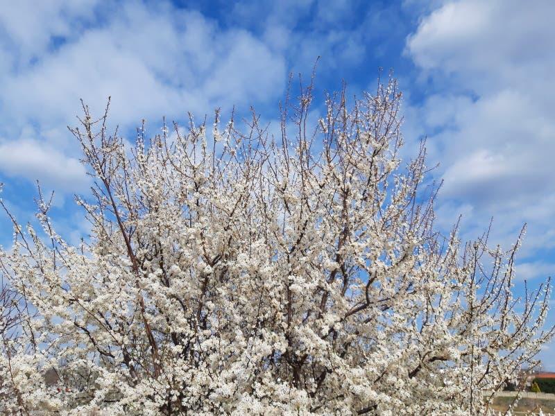 Vita blommor för blomningträd på våren av att blomma trädfilialer på himmelbakgrund på våren arkivbild