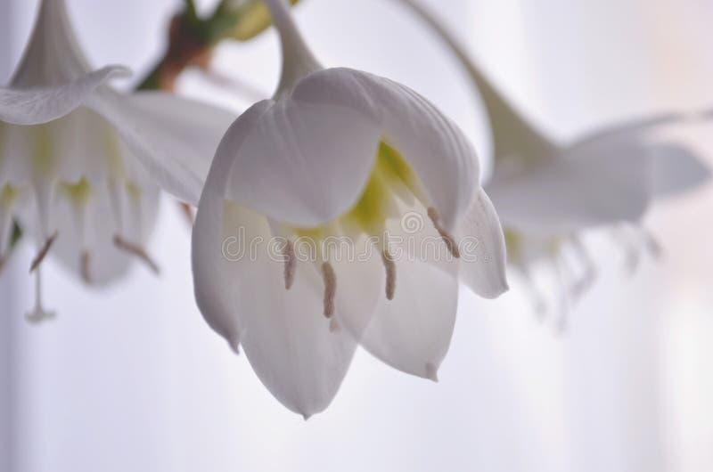 Vita blommor för hus av eucharisamazonicaen arkivbild