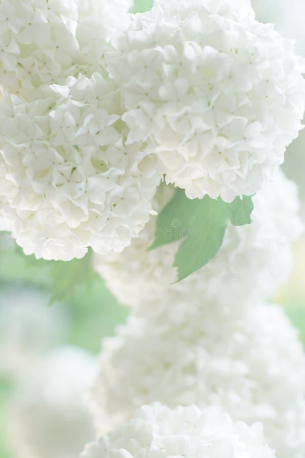 Vita blommor för invitaionkortet, suddig mjuk fokus royaltyfria foton