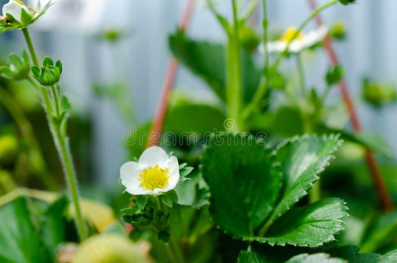 Vita blommor f?r jordgubbe och sm? nya gr?na b?r royaltyfri fotografi