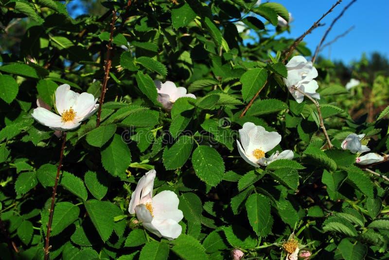 Vita blommor för lös ros, mjuka gröna sidor och blå himmel arkivbilder
