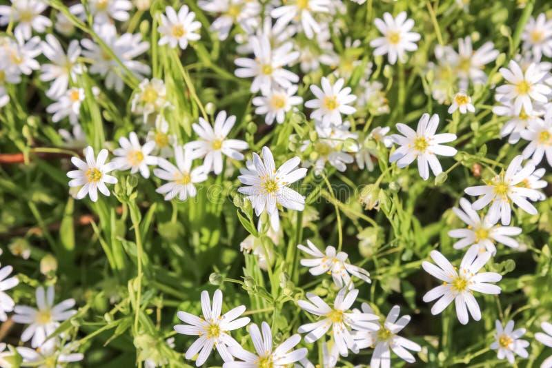 Vita blommor för Stellariaholostea royaltyfria foton
