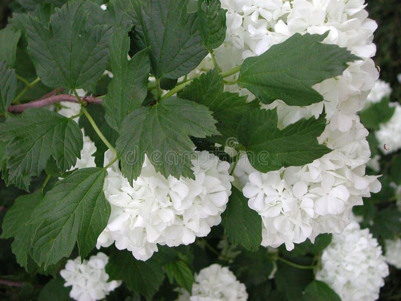 Vita blommor för Viburnumopulus arkivbilder