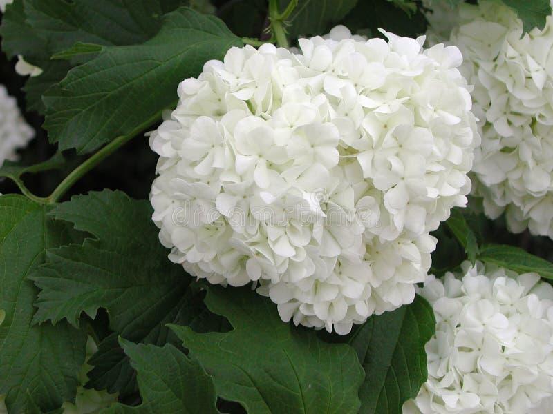 Vita blommor för Viburnumopulus royaltyfria foton