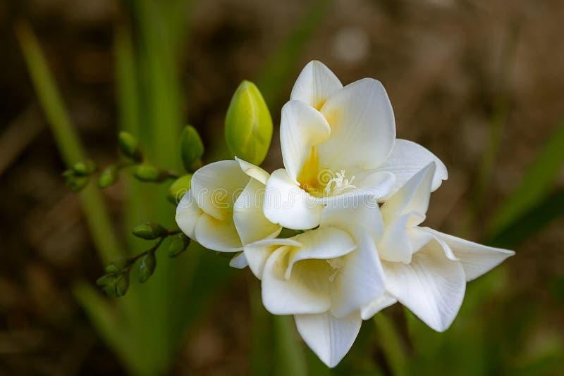Vita blommor, freesia, lukt, skönhet royaltyfri fotografi