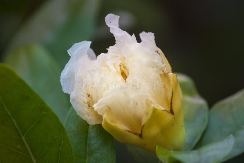 Vita blommor, genomskinliga vita blommor, hdblommor royaltyfria bilder
