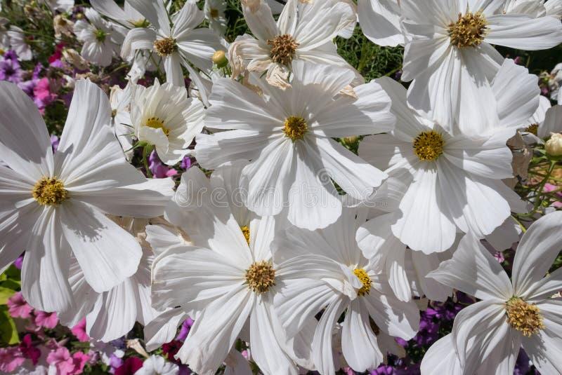 Vita blommor i en färgrik trädgård royaltyfri foto