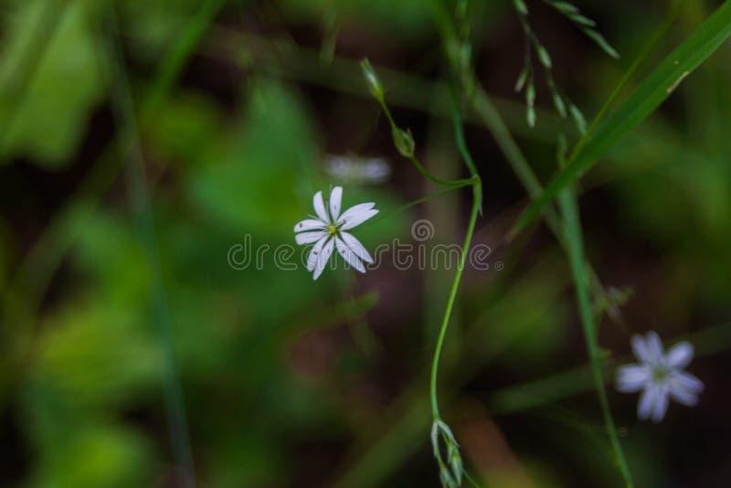 Vita blommor i fältet royaltyfria foton