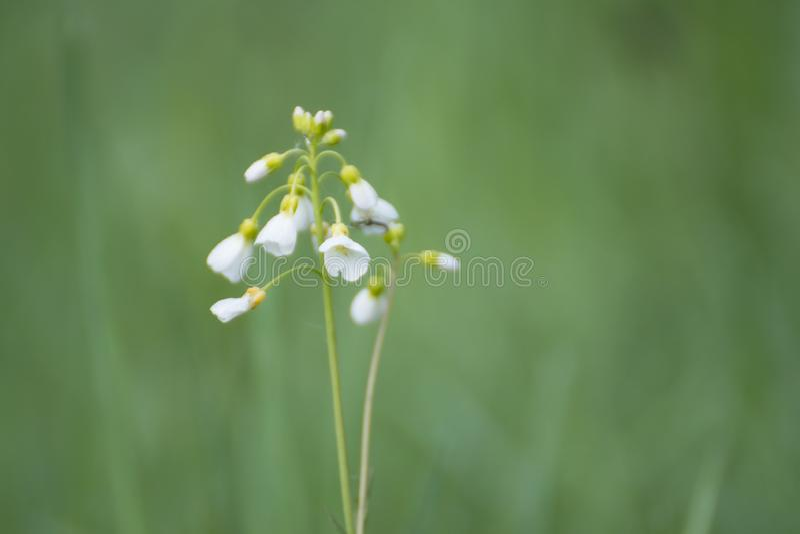 Vita blommor i gr?s vitt wild f?r blomma royaltyfria bilder
