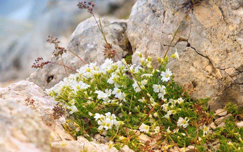 Vita blommor i reserv för Kaukasus berg royaltyfri fotografi