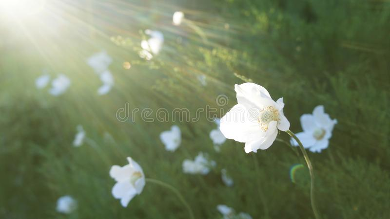 Vita blommor i solen på en grön glänta royaltyfri foto