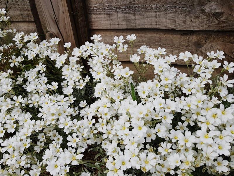 Vita blommor i trädgård arkivbilder