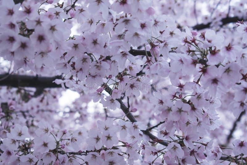 Vita blommor i vårkörsbärbloosom fotografering för bildbyråer