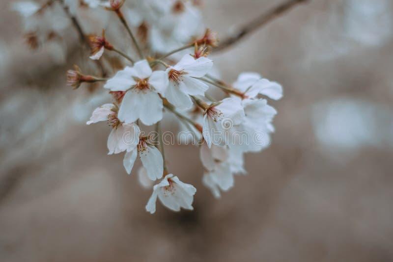 Vita blommor i vårkörsbärbloosom royaltyfri bild