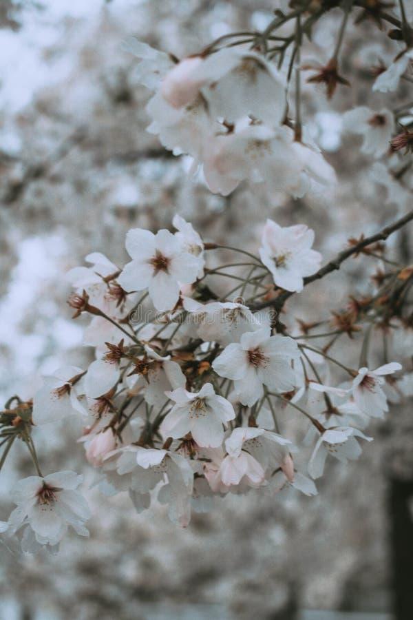 Vita blommor i vårkörsbärbloosom royaltyfria bilder