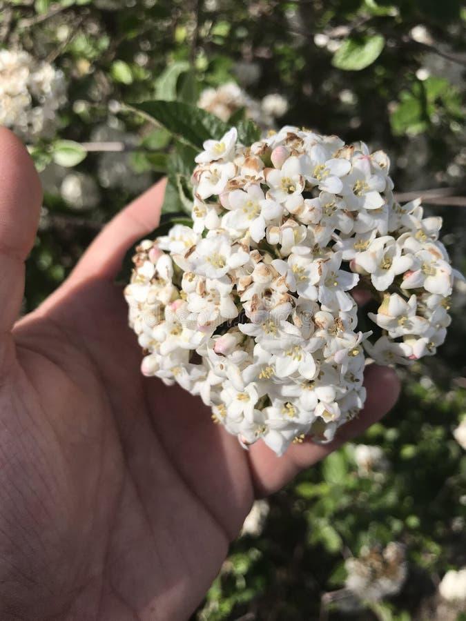 Vita blommor med handen royaltyfria bilder