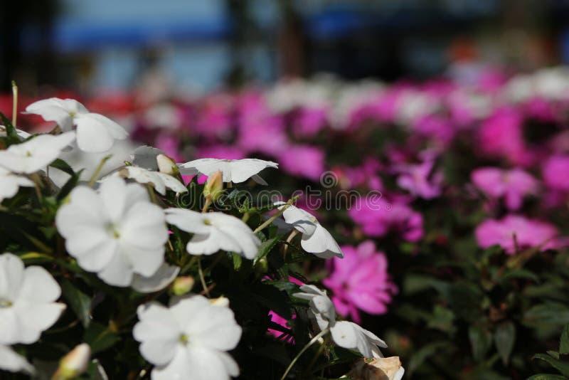 Vita blommor med purpurfärgade blommor royaltyfria bilder