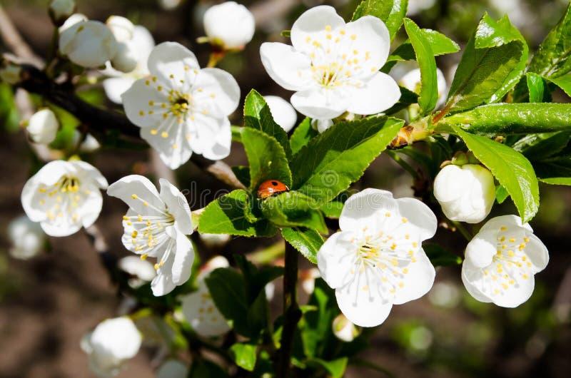 Vita blommor mot den bl?a himlen E bakgrund f?r skrivbordet r Aromen av s royaltyfria foton