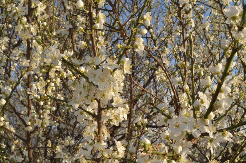 Vita blommor och blommaknoppar på filialerna som blomstrar i överflöd plommonet arkivbilder