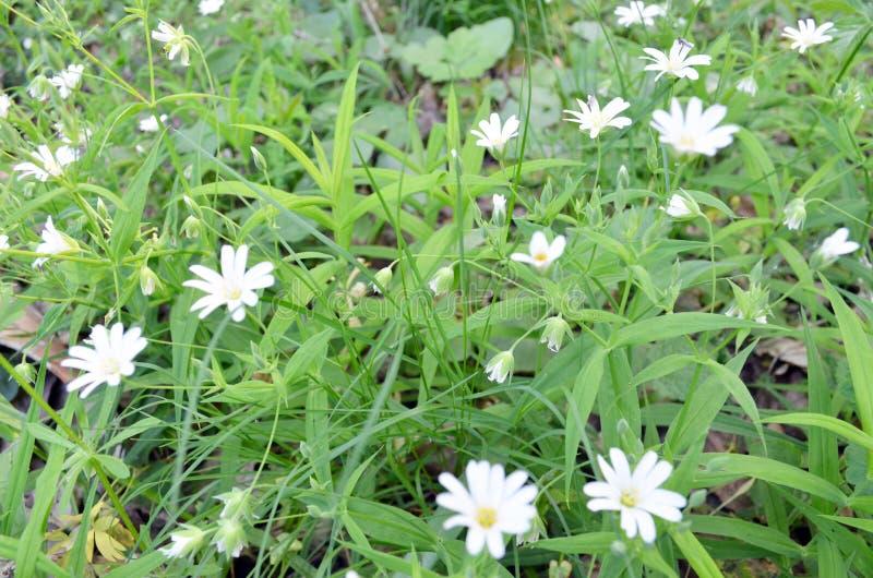 Vita blommor på ängen arkivfoto