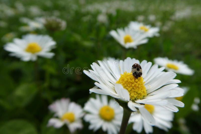 Vita blommor på ängen med det mycket lilla felet på ett av dem royaltyfria foton