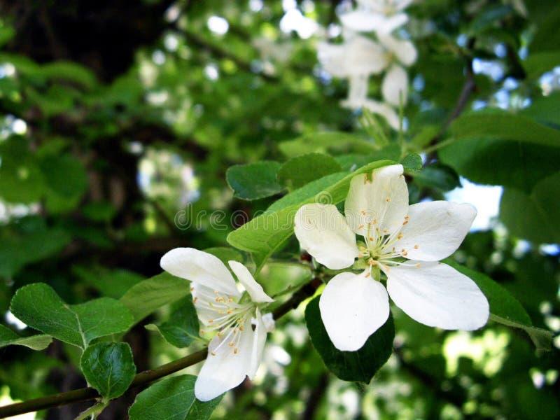 Vita blommor på äppleträdet arkivfoto
