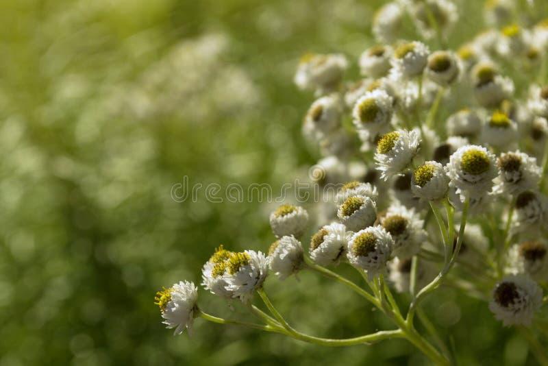 Vita blommor på den soliga bakgrunden arkivfoton