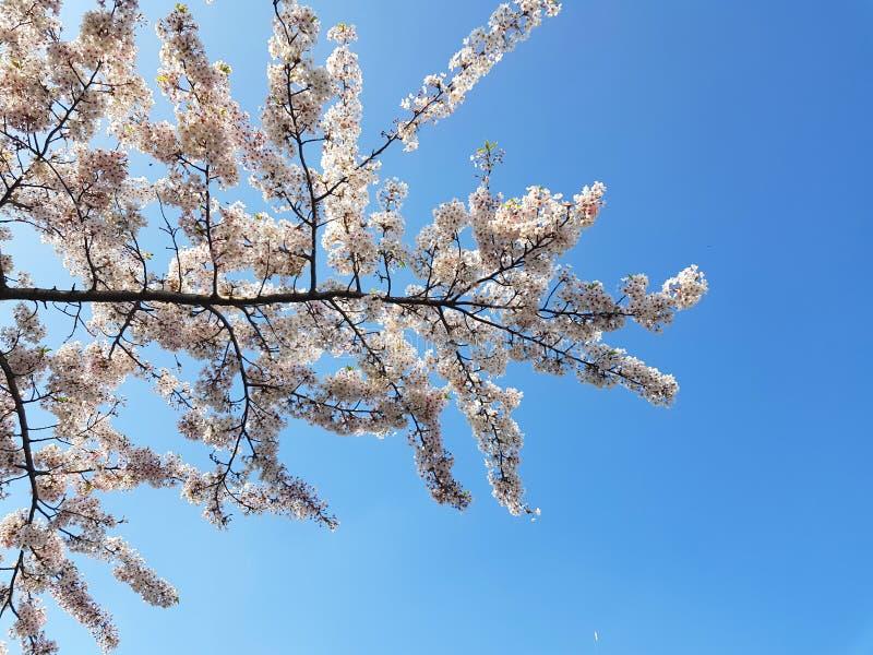 Vita blommor på en trädfilial mot blå himmel arkivbilder
