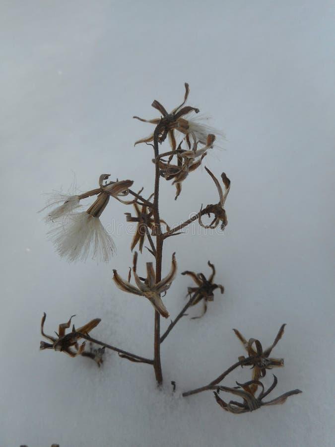 Vita blommor på en växt i snön royaltyfri bild