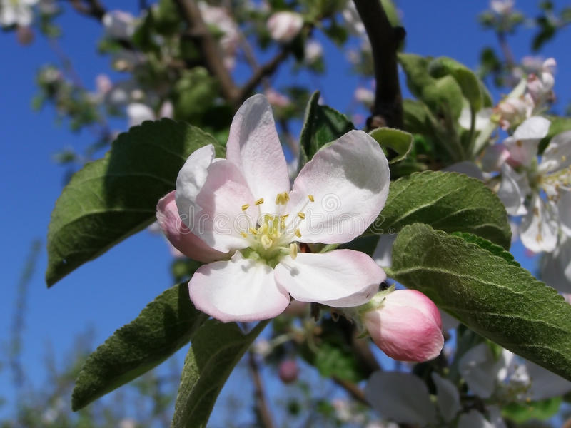 Vita blommor på ett träd i en vår arbeta i trädgården arkivfoto