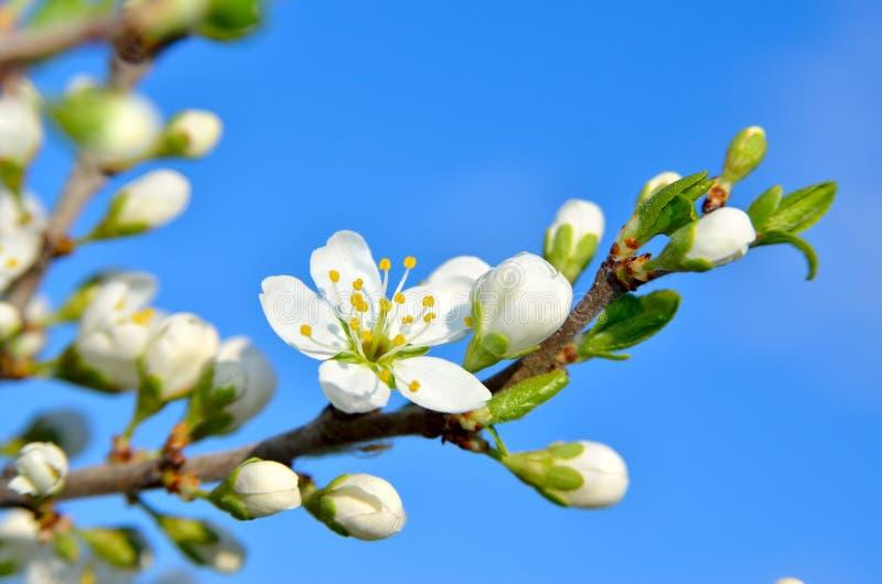 Vita blommor på filialerna av träd på våren royaltyfri fotografi