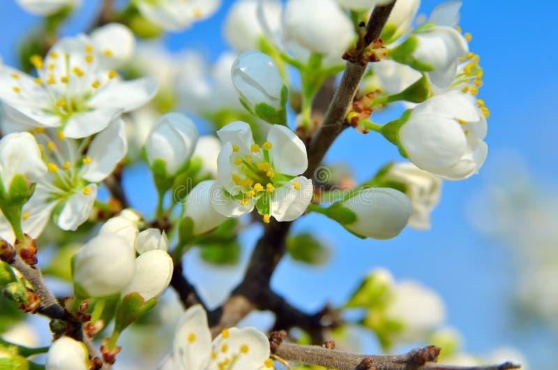 Vita blommor på filialerna av träd på våren royaltyfria bilder