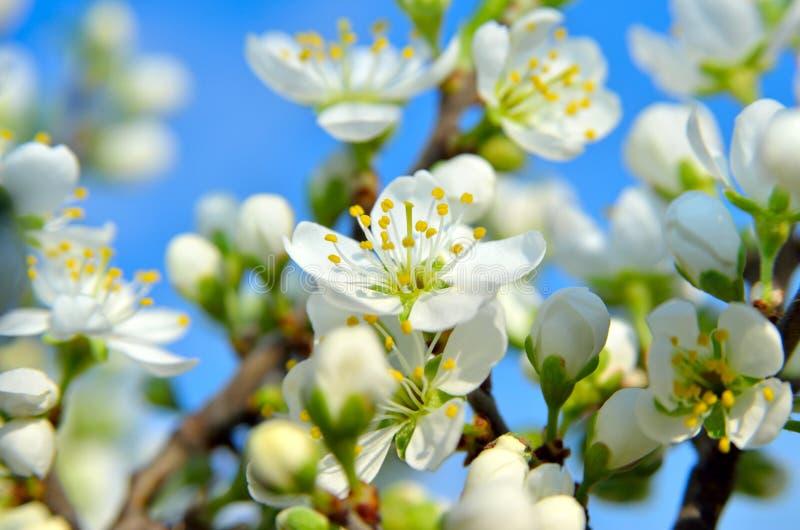 Vita blommor på filialerna av träd på våren royaltyfri bild