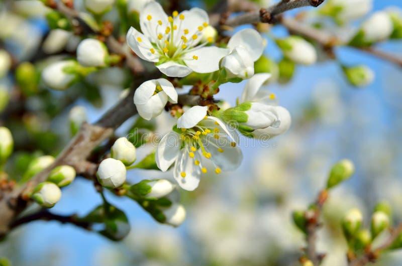 Vita blommor på filialerna av träd på våren royaltyfri foto