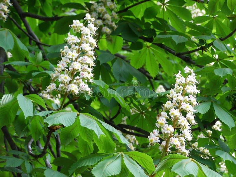 Vita blommor på kastanj-träd royaltyfri bild