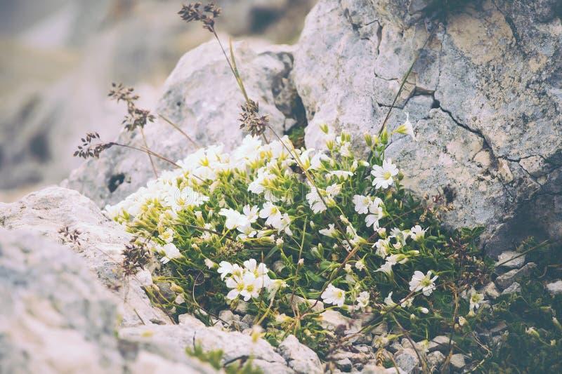 Vita blommor på stenar som växer i berg arkivbilder