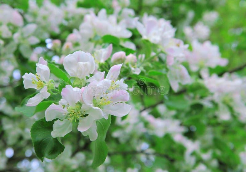Vita blommor p? en ?ppletr?dfilial den f?rorts- dagskogfj?dern g?r blomstra tr?dg?rd arkivfoton
