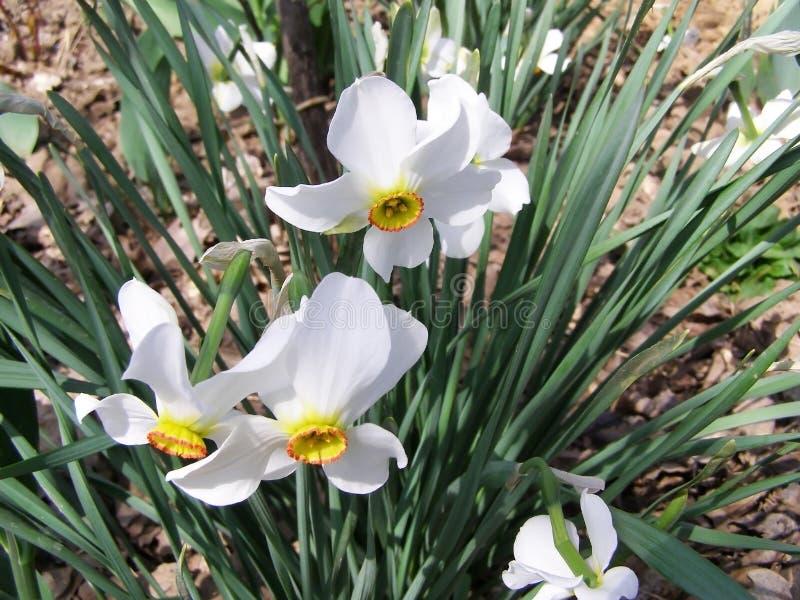 Vita blommor - pingstliljaväxt royaltyfri foto