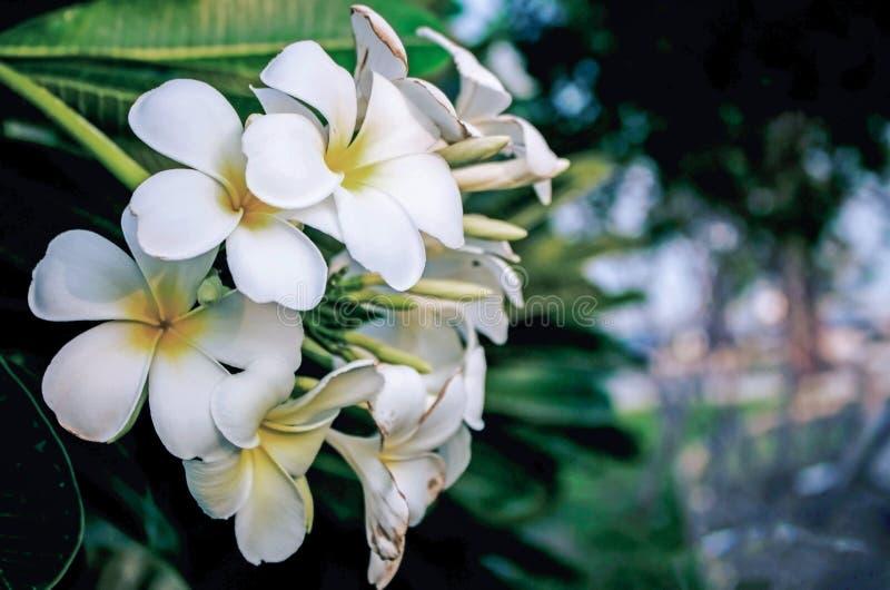 Vita blommor - PlumeriaalbumFrangipani royaltyfri fotografi